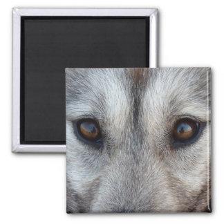 Imán regalo fornidos del lobo del perro de trineo