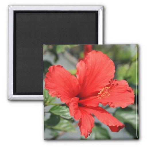 Imán rojo de la flor del hibisco