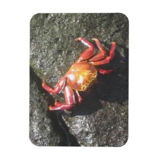 Imán rojo del cangrejo