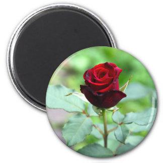 Imán rojo del capullo de rosa