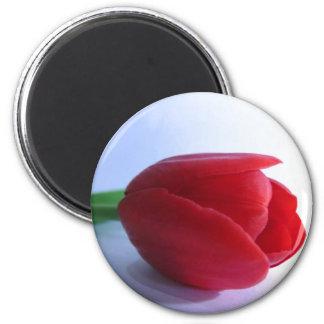 Imán rojo del tulipán