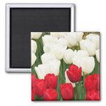 Imán rojo y blanco de los tulipanes