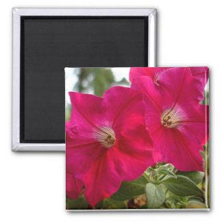 Imán rosado de la petunia