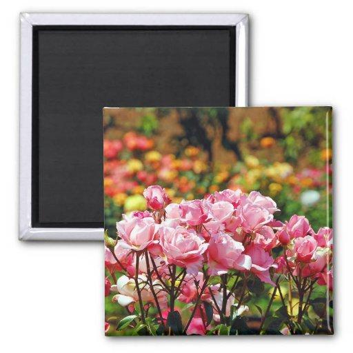 Imán rosado hermoso de los rosas