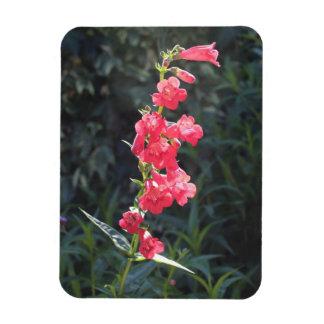 Imán rosado Sunlit de la foto de la flor del