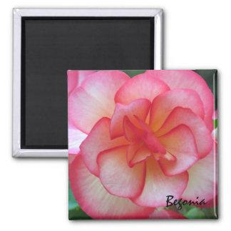 Imán rosado y blanco de la begonia
