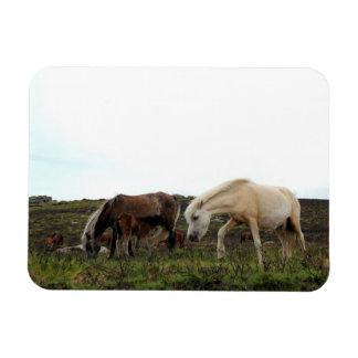 Imán salvaje de la foto de los potros de Dartmoor