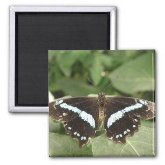 Imán tropical blanco y negro de la mariposa