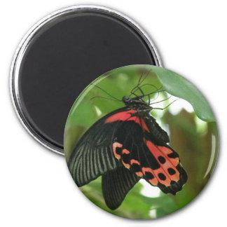 Imán tropical de la mariposa