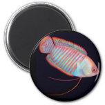 Imán tropical de los pescados del Osphromemus gora