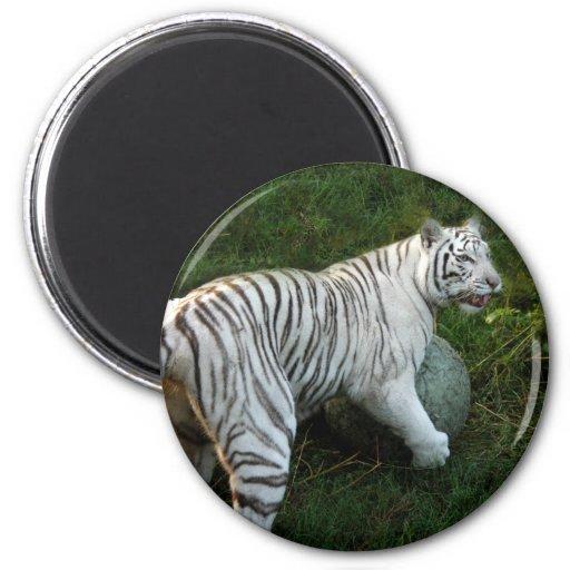 Imanes blancos del tigre imanes para frigoríficos