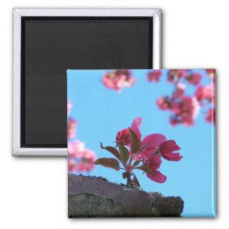 Imanes de la puntilla de la flor de cerezo imán cuadrado