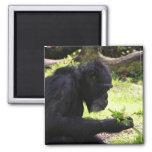 Imanes del chimpancé del viejo hombre