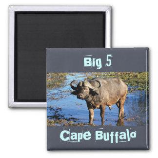 Imanes grandes del safari del búfalo del cabo 5 imán cuadrado