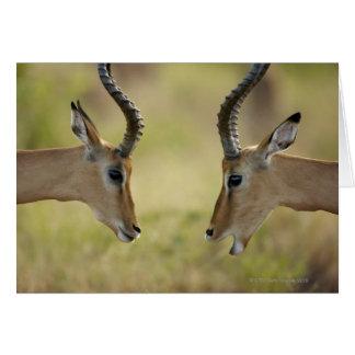 Imapla (Aepyceros melampus) wanting to fight, Card