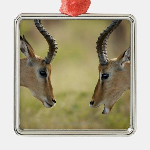 Imapla (Aepyceros melampus) wanting to fight, Ornament
