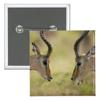Imapla (Aepyceros melampus) wanting to fight, Pinback Button