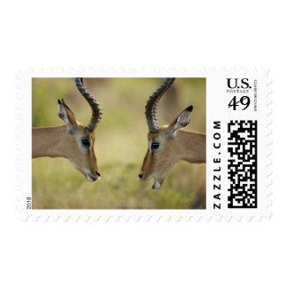 Imapla (Aepyceros melampus) wanting to fight, Postage Stamp