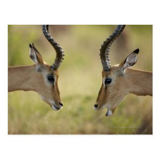 Imapla (Aepyceros melampus) wanting to fight, Postcard