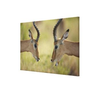 Imapla (melampus del Aepyceros) que quiere luchar, Lona Estirada Galerías