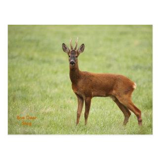 IMG_5480, Roe Deer Stag Postcard
