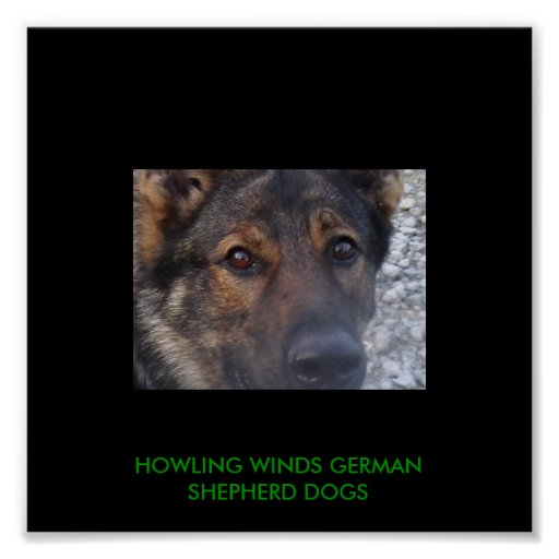 IMGA2559, HOWLING WINDS GERMAN SHEPHERD DOGS POSTERS