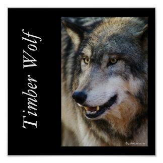 IMGP5247timberwolf, lobo de madera, gilbertstets d Poster