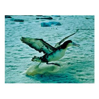 Imm. Short-tailed Albatross Postcard