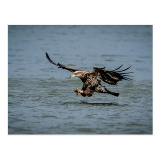 Immature Bald Eagle diving for a fish Postcard