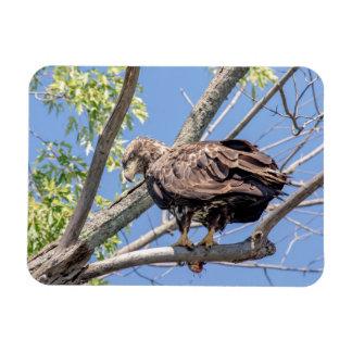 Immature Bald Eagle with a Catfish Magnet