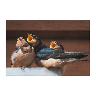 Immature Barn Swallow (Hirundo Rustica) Stretched Canvas Prints