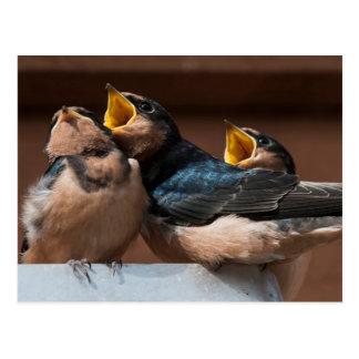 Immature Barn Swallow (Hirundo Rustica) Post Card