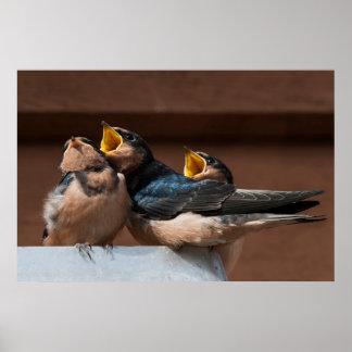 Immature Barn Swallow (Hirundo Rustica) Poster