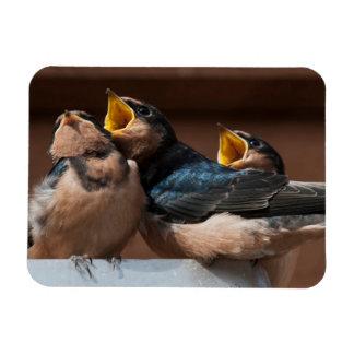 Immature Barn Swallow (Hirundo Rustica) Magnets