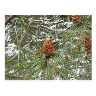 Immature male or pollen cones of pine tree postcard