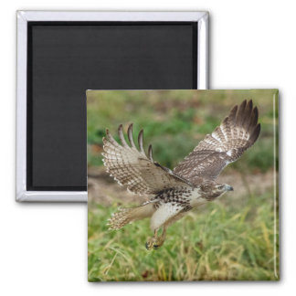 Immature Red Tailed Hawk 2 Inch Square Magnet