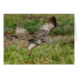 Immature Red Tailed Hawk Card