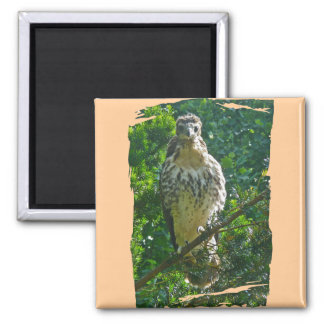 Immature Red Tailed Hawk Coordinating Items Magnet
