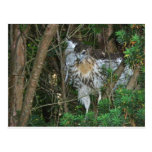Immature Red Tailed Hawk Coordinating Items Post Card