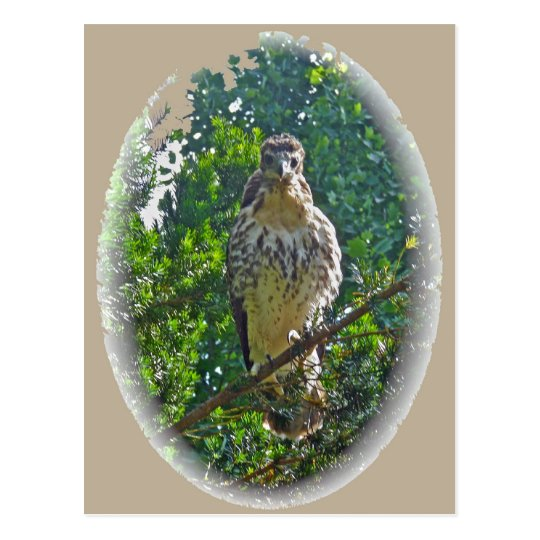 Immature Red Tailed Hawk Coordinating Items Postcard