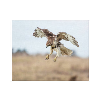 Immature Red Tailed Hawk Hovering Canvas Print