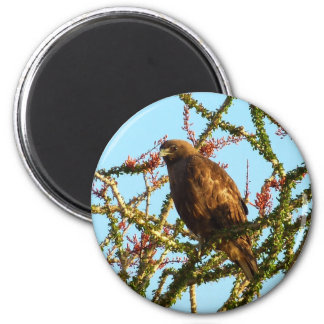 Immature Red-Tailed Hawk in Ocotillo (Joshua Tree) 2 Inch Round Magnet