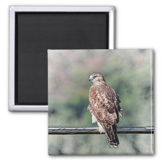 Immature Red Tailed Hawk Magnet
