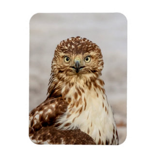 Immature Red-Tailed Hawk on the ground Magnet