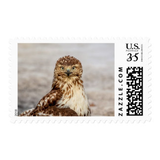 Immature Red-Tailed Hawk on the ground Postage