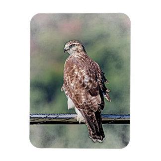Immature Red Tailed Hawk Rectangular Photo Magnet