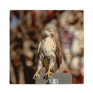 Immature Red Tailed Hawk Wooden Coaster