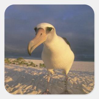 Immutabilis del albatros, de Diomedea de Laysan), Pegatina Cuadrada