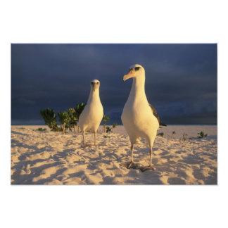 Immutabilis del albatros, de Diomedea de Laysan),  Impresiones Fotográficas