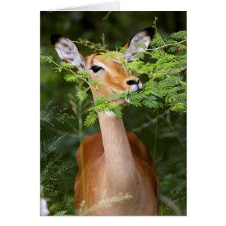 Impala (Aepyceros Malampus) Card